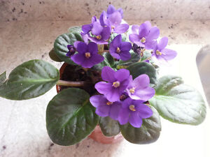 2  Blooming African Violets in cute ceramic pots