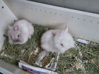 FREE ADORABLE 2 MONTHS OLD LION HEAD BUNNIES