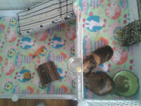 2 Bonded Spayed Female Guinea Pigs