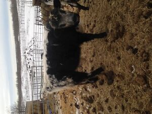 yearling bull speckle park/ black angus