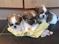 Pure bred Shihtzu puppies