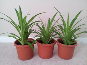Healthy Mature Spider Plants London Ontario image 2