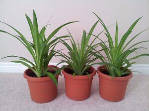 Healthy Mature Spider Plants London Ontario image 2