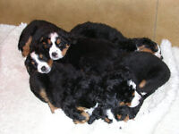 Pure Bernese puppies