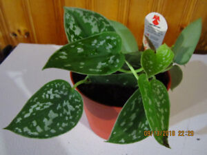 Silver Pothos - Low Light - (From Indonesia)- Air Purifying