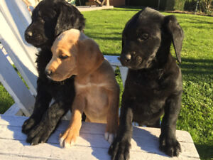 7 week old Labradoodle Puppies - only 2 left