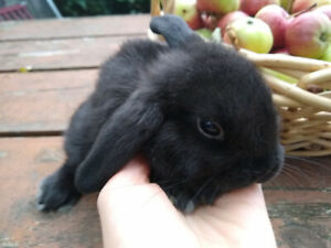 Adorable little 8 week old holland lop -last of her litter