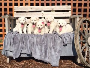 adorable maremma x puppies! rescued orphan puppies:)