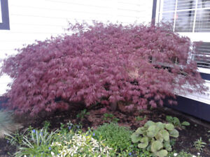 Japanese Maple Trees..... 3 of them.