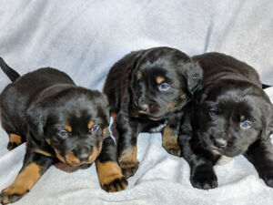 Adorable Labernese Puppies