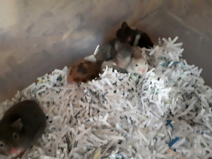 Hamster babies for sale $3 each
