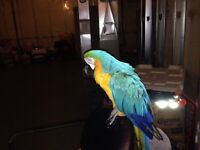 Blue and gold Male Macaw FOR BEST OFFER