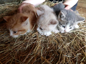 Barn kittens free to good home