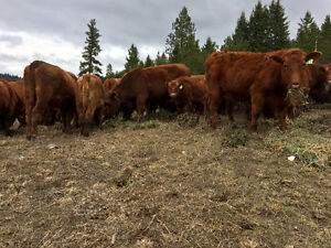 Red Angus Long- Yearling Bulls for Sale