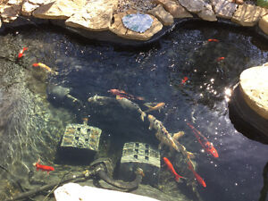 Fish for sale Koi Goldfish Shebunkins Fantails