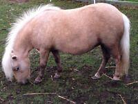 Broken gelding Shetland pony