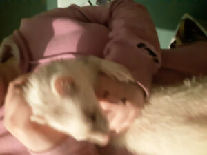 Two male ferret's