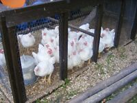 Organic Frozen Chickens ( Large ) For Sale
