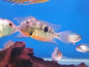 Firemouth American cichlids