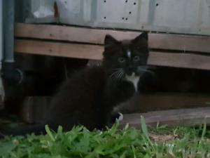 Black kitten. Burmese x