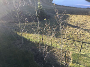 Young poplar trees for free