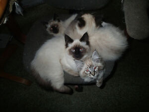 3 month old Ragdoll-Himalayan kittens