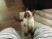 Siamese Kitten to a Good Home