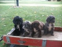 Cocker-Spaniel-Poodle pups