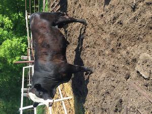 Purebred/hybrid Simmental Bulls