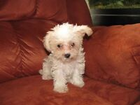 3/4 toy poodle 1/4 chihuahua puppies