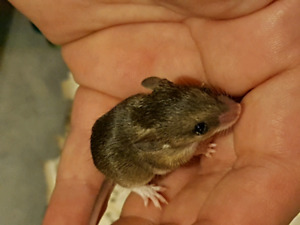 South African Spiny Mice!