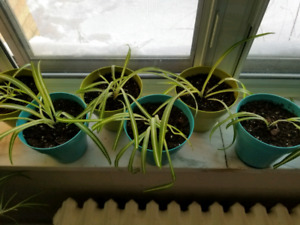 Spider Plants for Sale