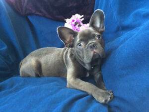 Gorgeous Male Blue French Bulldog Puppy Available