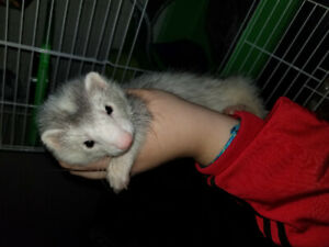 Female baby ferret. About 12 weeks old. She is a Marshall ferret