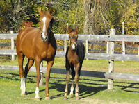 Beautiful broodmare available - make an offer