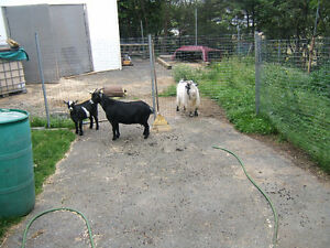pygme goats for sale 2 for $250 each