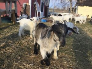 Pygmy and pygmy cross goats for sale