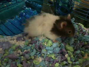 Hamster For Sale - All Accessories