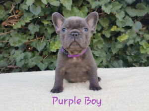 Perfect Blue french bulldog puppies for sale