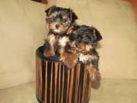 Yorkie puppies 2 females / Hurry up , just 2 left