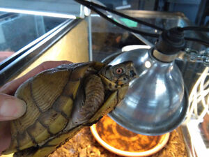 tortues adultes