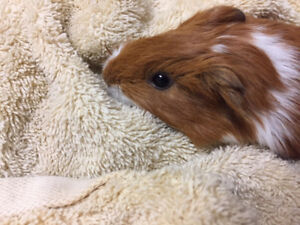 Male Guinea pig - 2 months old
