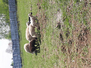 Shetland ewes and lambs for sale.