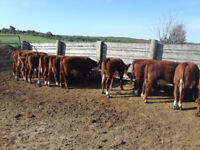 2019 Hereford heifers calves