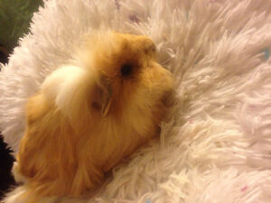 Guinea pig + supplies in need of a loving home
