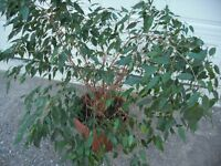 Weeping Fig (Ficus) Tree/Plant