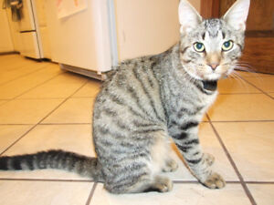 Missing: Brown Tabby Male Cat