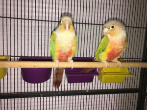Two DNA'd Male Unrelated Pineapple Green Cheek Conures