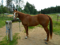 16HH 2000 Registered Quarter Horse Gelding