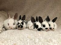 Baby mini rex rabbits